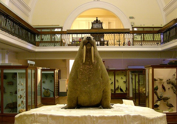 Horniman Walrus in Natural History Gallery. Image courtesy Horniman Museum and Gardens